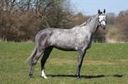 Hest til salg - Colstar