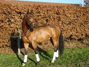 Hest til salg - PRALIDO