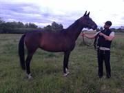 Hest til salg - BOMOSENS DIAS