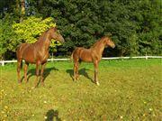 Hest til salg - LANDINA