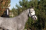 Hest til salg - NYHOLTS LIVA