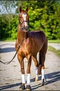 Hest til salg - WIANA'S ATLANTA