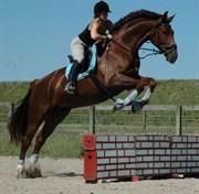 Hest til salg - LAMBADA K.
