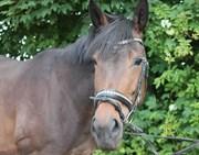 Hest til salg - AMALIA E III