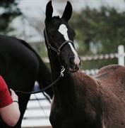 Hest til salg - AROS