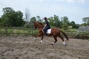 Hest til salg - DE´TOX ROYAL