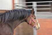 Hest til salg - SOELBERGS MINELLI