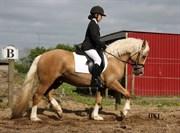 Hest til salg - Fjordglimt Golden Picasso