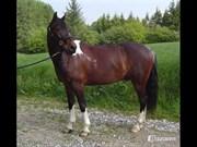 Hest til salg - Skouvgaardens Twisster