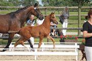 Hest til salg - DON ANTINO