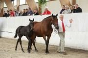 Hest til salg - HJØRNEGÅRDS ATTACK
