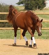 Hest til salg - SR ZANATA OX