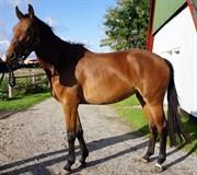 Hest til salg - OSAGERS REVELINA