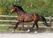 Hest til salg - WESTERGAARDENS MONROE