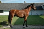 Hest til salg - Ellis