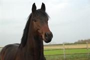 Hest til salg - GREDSTEDGAARDS SURPRISE