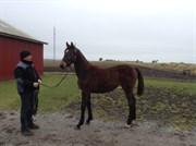 Hest til salg - BAK'S ZAKIRA