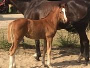 Hest til salg - PETRASMINDES D'CLAIRE