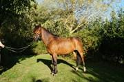 Hest til salg - ROLØKKE CARTE D´OR