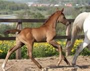 Hest til salg - RGS First Look