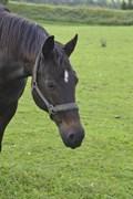 Hest til salg - CILLE BØGEVANG