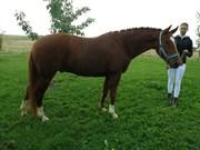 Hest til salg - LYKKESHOLMS CANTUS