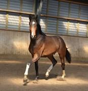 Hest til salg - KAMAR'S TRIPLE SOCKS