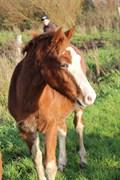 Hest til salg - GONDOR