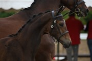Hest til salg - GRAND GERONIMO