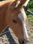 Hest til salg - ØSTRUPGÅRDS MATEO