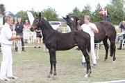 Hest til salg - LANGEMOSEGAARDS MÉTALLIC