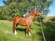 Hest til salg - BARON SKINGELSBJERG