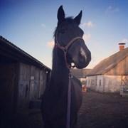 Hest til salg - Enghøjs Caretano