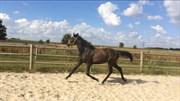 Hest til salg - Sølbecks Clear Wish