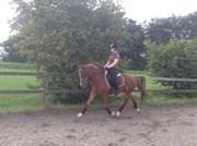 Hest til salg - SØNDERSKOVS CAYENNE