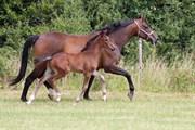 Hest til salg - Sorevas Dirty Dancer