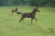 Hest til salg - VEHLSGAARDS ZELFIE