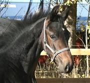Hest til salg - FLOYD G