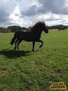 Hest til salg - Elrir frá Árbæjarhjáleigu