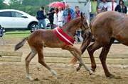 Hest til salg - SVALEGÅRDS GOLD CRELIDO