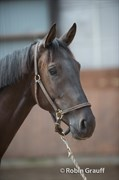 Hest til salg - SANTINO C