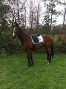 Hest til salg - Venzenca Bellissima