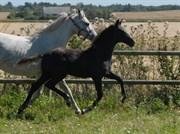 Hest til salg - SØGAARDS MR. GREY MOON
