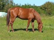 Hest til salg - CABAL