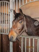 Hest til salg - MEDINA