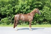Hest til salg - FIESTA ROMINA