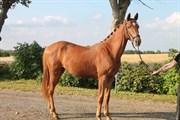 Hest til salg - OCTAVIA AF ØSTERGAARD