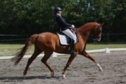 Hest til salg - ARISTO
