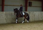 Hest til salg - CELINA