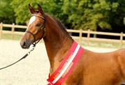 Hest til salg - 406 - HOLSTEINS ZACHO BOY